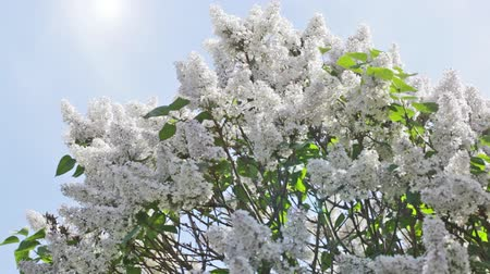 beautiful day : Branch of a white lilac against the solar sky Stock Footage