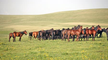 stádo : Herd of horses on a summer green pasture