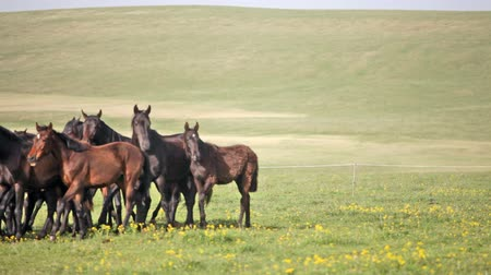 corrida : Herd of horses on a summer green pasture