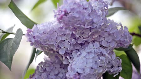 leylak : Branch of a blue lilac against the blue sky