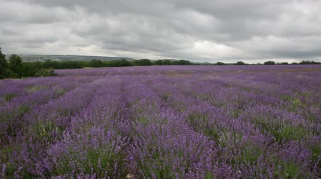 terep : Big field of the blossoming lavender in cloudy day Stock mozgókép