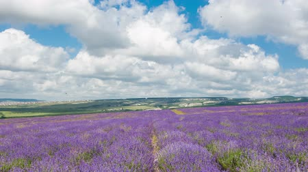 aromaterapia : Big field of the blossoming lavender in summer day, timelapse