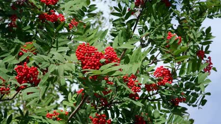 sorbus : The branch of the red rowan Stock Footage