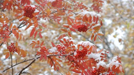 rowanberry : Branches of bright red rowan during snowfall Stock Footage