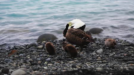 Wild arctic ducklings with her mother on the shore of Jokulsarlon glacial lagoon. Picturesque outdoor scene. Location place Iceland, Europe. Explore the worlds beauty. Shooting in HD 1080 video.