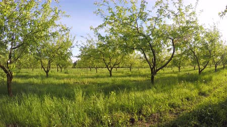 Fantastic apple orchard is illuminated by sunlight. Picturesque and gorgeous scene. Location rural place of Ukraine, Europe. Ecological production of organic products. Beauty world. Shot in 4K (UHD). Stock Footage