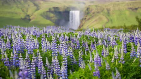 aventura : Lovely blooming lupine in sunny field. Gorgeous day and picturesque scene. Location Skogafoss waterfall, Skoga, Iceland, Europe. Unique place on earth. Beauty world. Shooting in HD 1080 video.