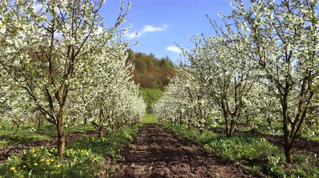 Sunny view of the wonderful blossom fruit garden. Picturesque and gorgeous scene. Location place Carpathian, Ukraine, Europe. Artistic HD movie. Discover the world of beauty.