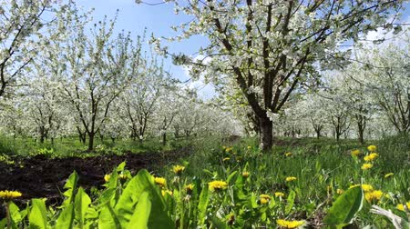flor de cerejeira : Sunny view of the wonderful blossom fruit garden. Picturesque and gorgeous scene. Location place Carpathian, Ukraine, Europe. Discover the world of beauty. Vídeos