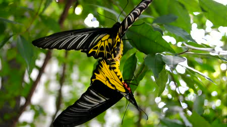 cor : Golden Birdwing butterflies mating [HD]