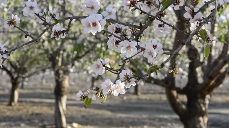 mandula : Almond branch in a wind