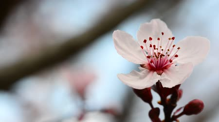 śliwka : Macro flower plum. Close up. Wideo