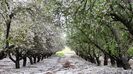 mandula : Petals fall off almond trees, looks like snowing.