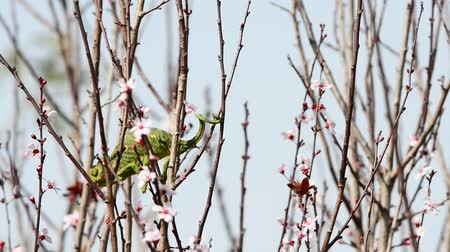 chamaeleo : Bright green chameleon caught its prey among the flowers of a blossoming plum