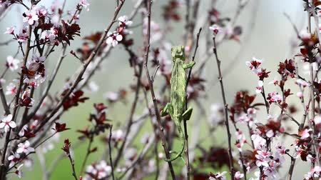chamaeleo : Chameleon on a plum brunch while hunting insects Stock Footage
