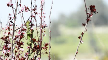 chamaeleo : Green chameleon swinging on a branch of blossoming plum tree Stock Footage