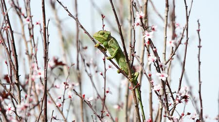 chamaeleo : Green chameleon sitting on thin branches of a plum