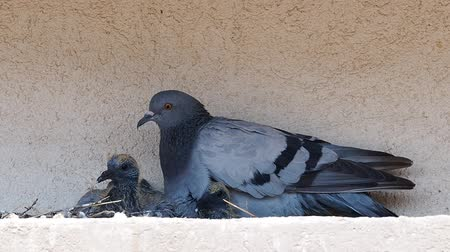 pigeon nest : Pigeon and his chicks sitting in the nest.