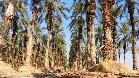 dead wood : Grove of date palms in the Dead Sea region. Dry soil and tall beautiful palm trees with dates. Stock Footage