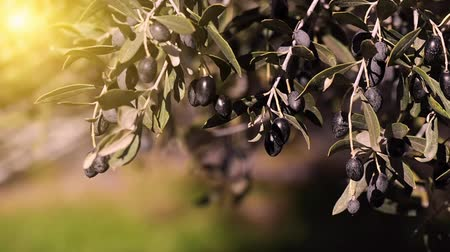olivy : Olive branches with black olives swing in the wind against the evening sun.