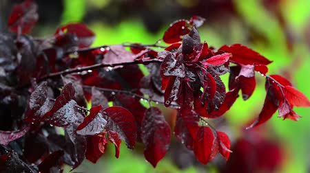 śliwka : Dark red leaves of japanese plum in the rain.