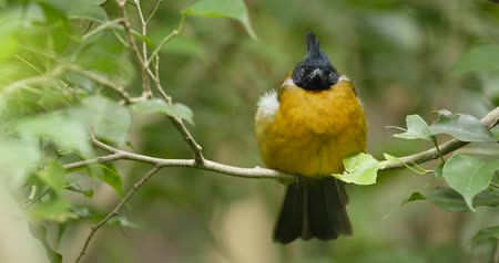 passerine bird : Black crested yellow bulbul Stock Footage