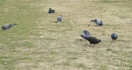 yaşama gücü : Pigeons bird in the green lawn