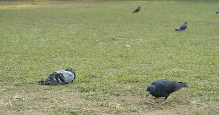 madárinfluenza : Pigeons in the field