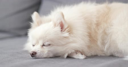 pom : Pomeranian sleep on couch Stock Footage