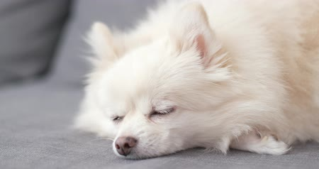 pom : White Pomeranian dog sleep Stock Footage