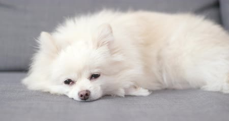 pom : White pomeranian dog sleep on sofa Stock Footage