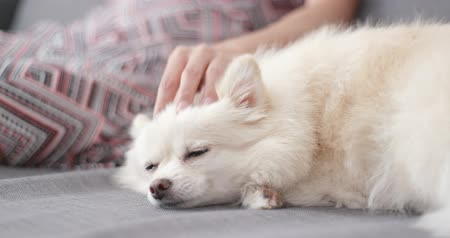 pom : Pet owner caress her dog