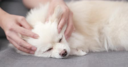 pom : Pet owner massage on her white dog