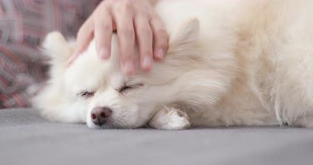 pom : Pet owner massage with her white Pomeranian dog