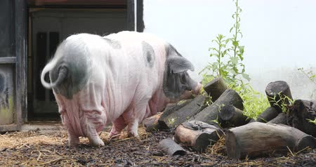 széna : Pig in farm