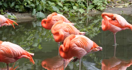 flamingi : Caribbean flamingo in water pond Wideo
