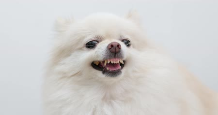 temper : Pomeranian dog getting angry and want to bark