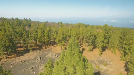 takımadalar : aerial panorama of the Pine forest on a volcanic island Stok Video