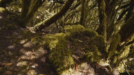 liken : ancient relic laurel forest overgrown with moss and lichen Stok Video