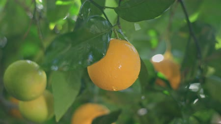 unripe : Mature juicy oranges ripen on a branch of citrus tree on a sunny day after a tropical rain