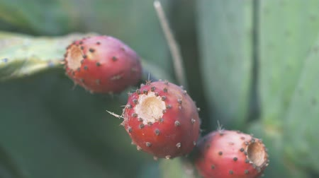 ficus : Opuntia is a genus in the cactus family also known as prickly pear, cactus fig and tuna