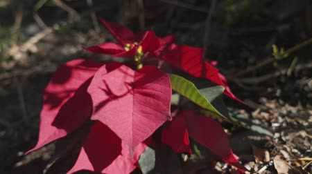 santaclaus : Poinsettias are popular Christmas decorations in homes, churches, offices