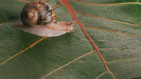 puhatestű : a large grape snail crawls on a damp green leaf