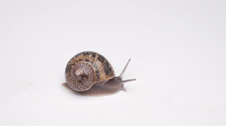 puhatestű : Close-up of crawling snail on white background