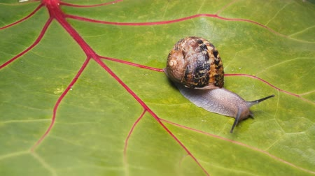puhatestű : a lone snail crawls along the green leaf of the grapevine Stock mozgókép