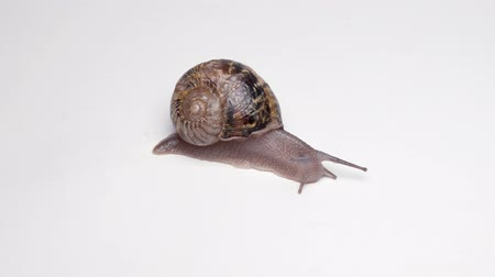 puhatestű : macro video shot of Snail with shell sinks on white background Stock mozgókép
