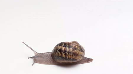 puhatestű : top view of the Snail with shell sinks on white background macro video shot Stock mozgókép