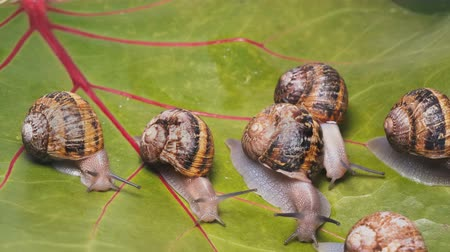 puhatestű : Аrmy of garden snails devouring and destroying plant leaves