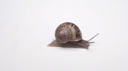 puhatestű : Slowly creeping snail on white background Close-up shot