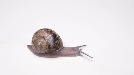 puhatestű : Snail helix with a shell on the back slowly crawling on a white background